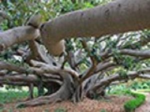 immagine alberi monumentali