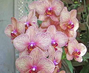Glocal orchidea fin