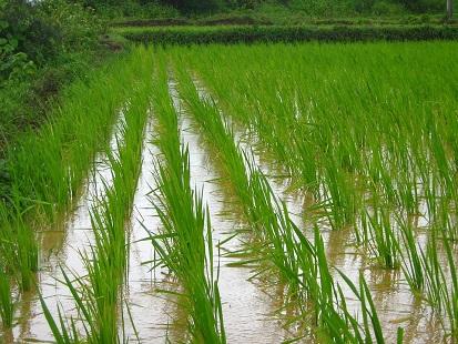 Pioggia-acqua-rice-farm-1946224_960_720