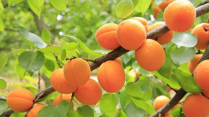 Albicocche-apricots-824626_960_720